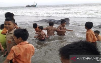 Ikan Hiu Tutul Terjerat Pukat di Pantai Tan Sridano