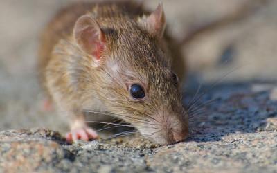 Tanpa Obat, Begini Cara Mengusir Tikus di Rumah, Tokcer!