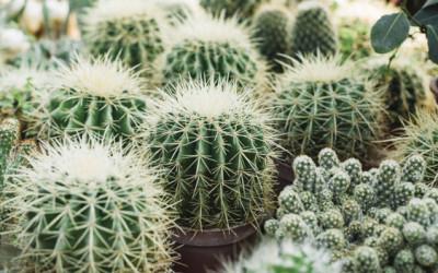 4 Langkah Pindahkan Kaktus ke Pot Baru Secara Aman