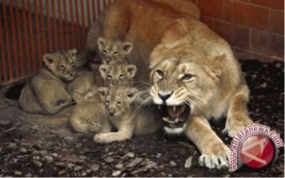 Kasus Covid-19 di India, Singa Juga Ikutan Kena