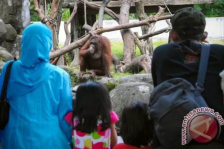 Dongkrak Kunjungan, GL Zoo Datangkan Singa Afrika dan Meerkat