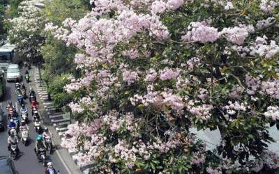 Siapa yang Setuju Jalan Cikini Ditanam Pohon Mirip Bunga Sakura?