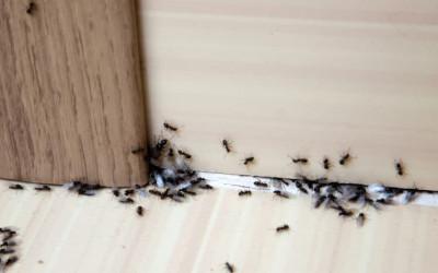 3 Cara Membasmi Sarang Semut di Rumah yang Dijamin Ampuh