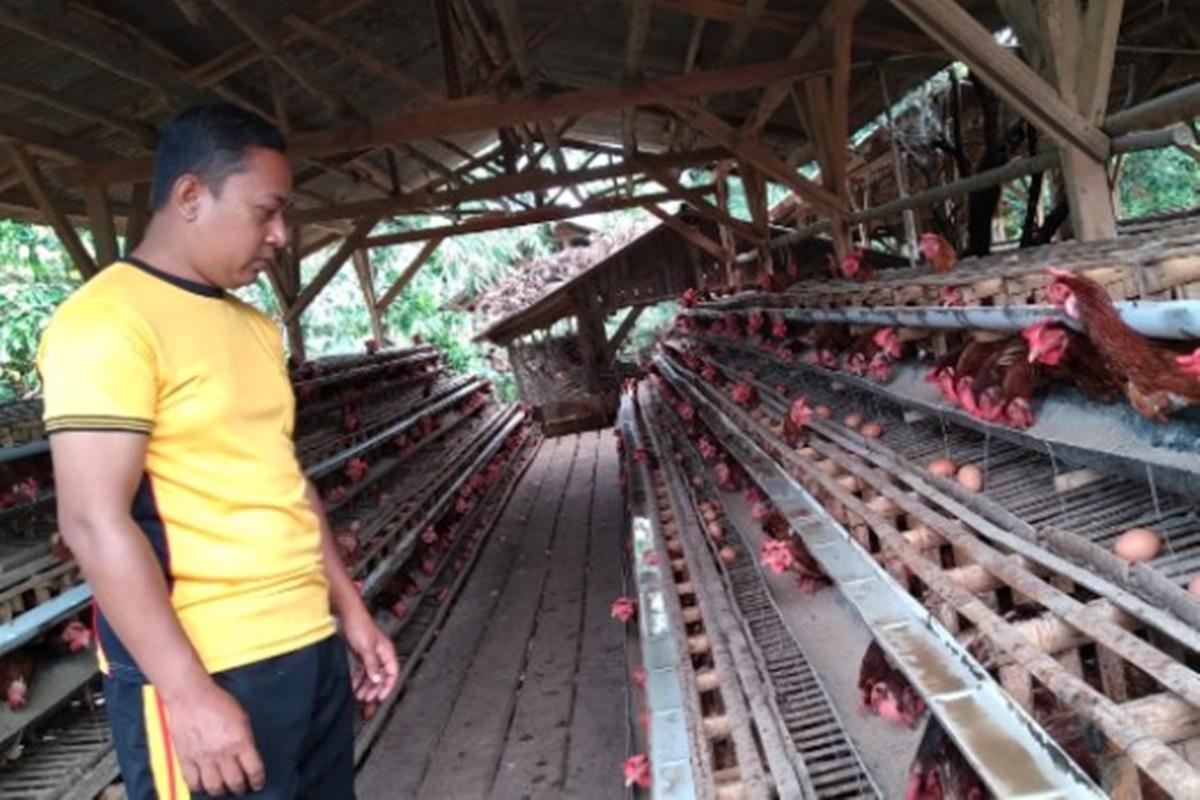 Lili Abdulah saat mengecek ayam petelur miliknya (foto: Dede Nurhasanudin/ Ayopurwakarta.com)