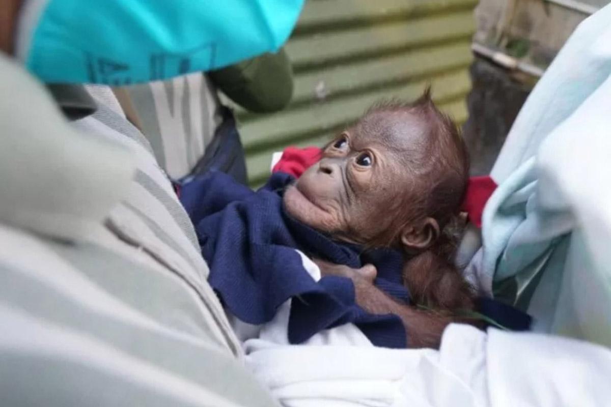 Bayi orangutan kalimantan yang lahir pada 4 Juni 2021 di Kebun Binatang Gembira Loka, Yogyakarta. (FOTO: ANTARA/HO-KLHK)