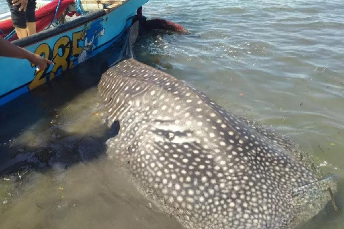 Ikan hiu paus tersangkut pada jala nelayan di wilayah perairan Pantai Labuhan Haji, Kabupaten Lombok Timur, Nusa Tenggara Barat, Rabu (16/6/2021). (FOTO: ANTARA/HO BPSPL Denpasar)