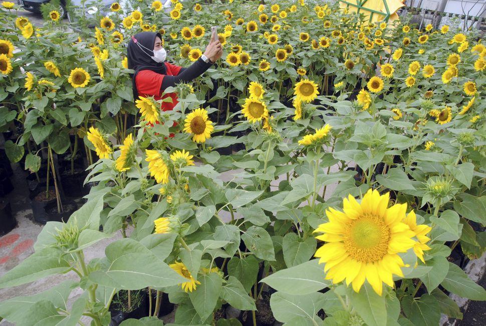 Pengunjung berswafoto di antara tanaman bunga matahari di Bogor Sky Garden, Mall BTM, Kota Bogor, Jawa Barat. Foto: ANTARA FOTO/Arif Firmansyah.