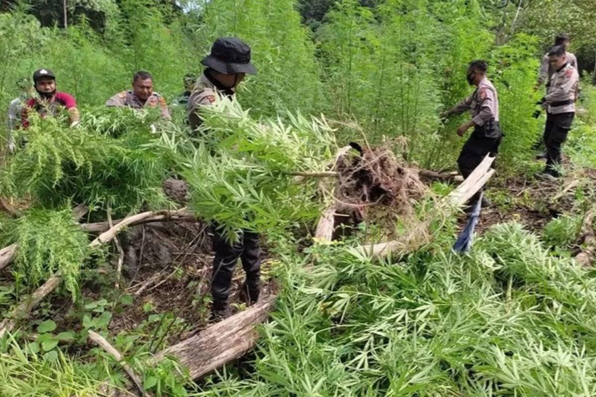Polisi memcabut tanaman ganja dalam pemusnahan di Gunung Seulawah, Kecamatan Seulimeum, Kabupaten Aceh Besar, Rabu (16/6/2021). (FOTO: ANTARA/HO)