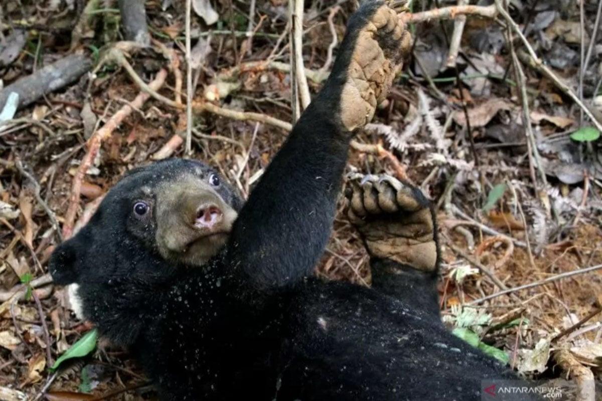 Ilustrasi - Beruang madu (Helarctos malayanus) terkena jerat babi di perkebunan sawit Desa Lubuk, Kecamatan Jeumpa, Aceh Barat Daya, Aceh, Selasa (11/6/2019). ANTARA FOTO / Khalis Abdya/Irp. (FOTO: ANTARA/KHALIS ABDYA)