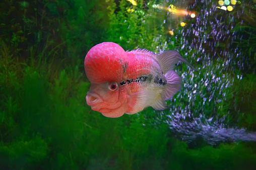 ilustrasi ikan pembawa keberuntungan. foto: pixabay