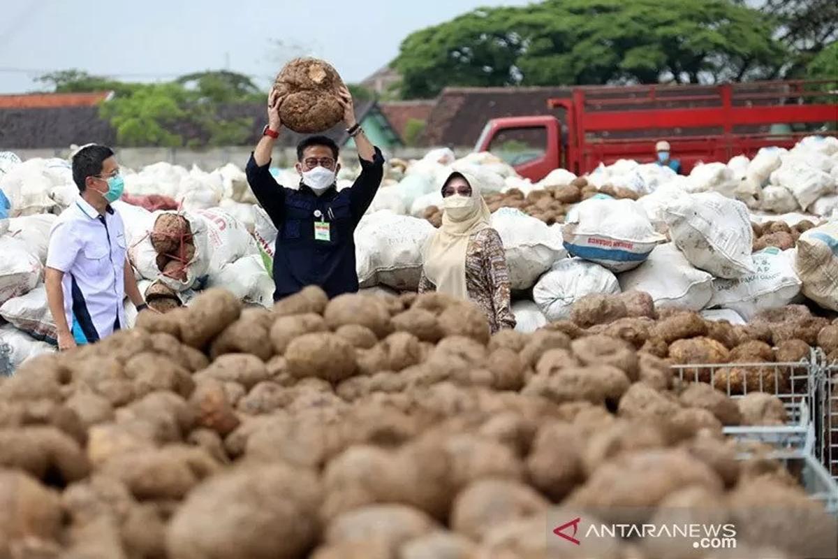 Menteri Pertanian Syahrul Yasin Limpo saat panen porang di Madiun. Foto: Kementan/Antara/HO