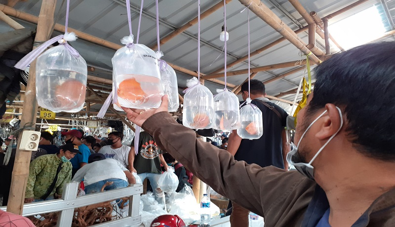 Pasar Ikan Hias Parung, Murah dan Banyak Pilihan