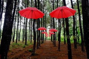 Hutan Pinus Songgon di Banyuwangi. (Foto: Catatan Nobi)