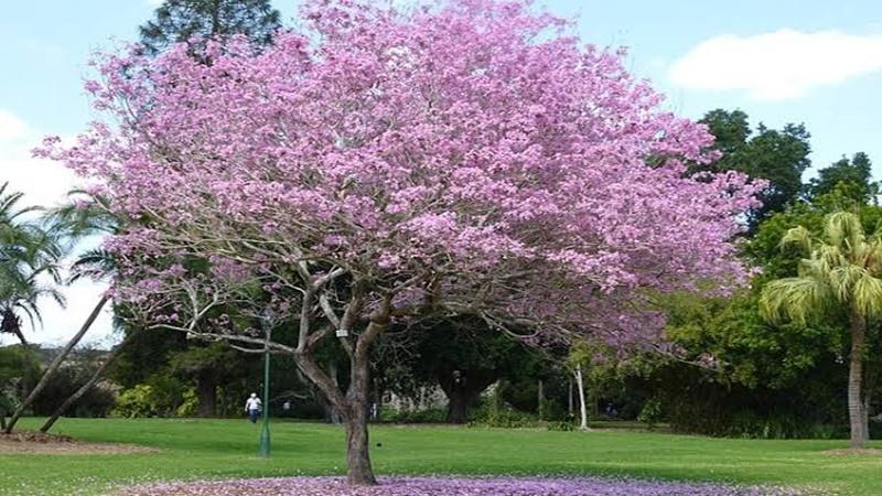 Pohon tabebuya di Taman Tabebuya, Jakarta (foto: backpacker Jakarta)