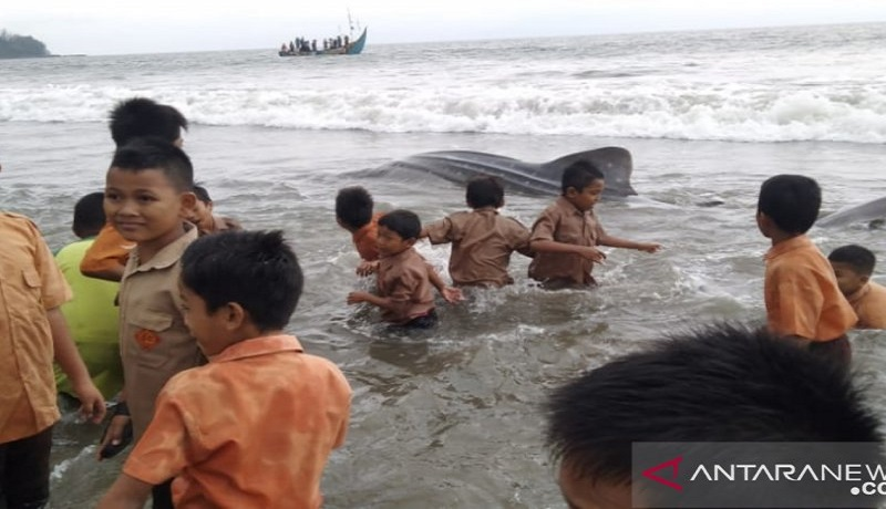 Hiu terdampar di Pantai Tan Sridano, Sumatera Barat. Foto: Antara
