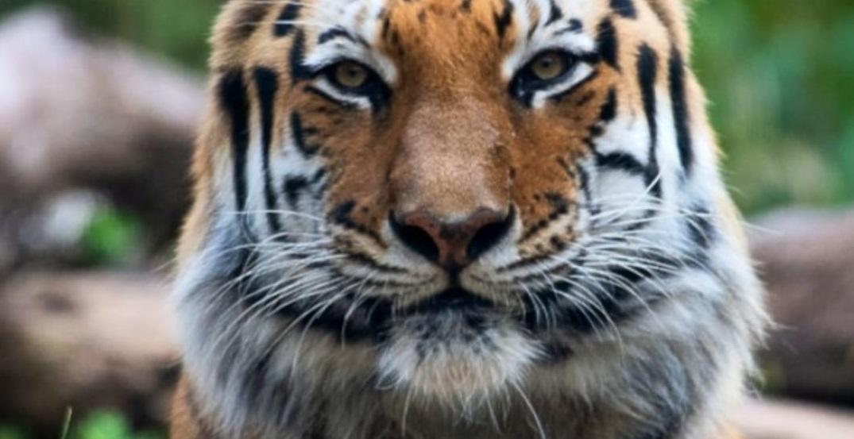 Kasus Pertama, Harimau di New York Positif Virus Corona