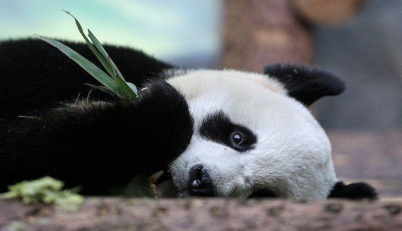 Kerinduan Panda Raksasa Pada Manusia Terpisah Akibat Virus Corona