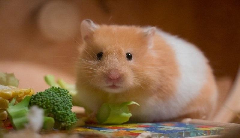 Ingin Memelihara Hamster? Kenali Jenisnya Sebelum Membeli