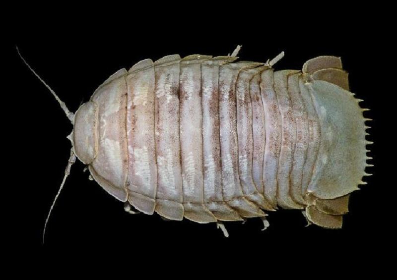 Penampakan secara menyeluruh Bathynomus Raksasa (sumber : Pusat Penelitian Biologi LIPI)