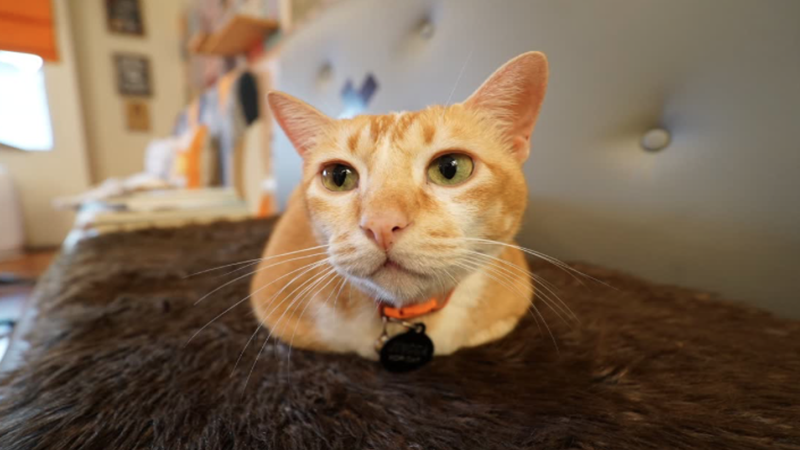 Tak Hanya Meong Ras yang Cantik, Kucing Kampung Juga Keren Asal…