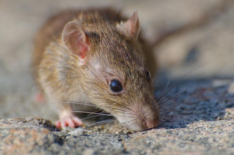 ilustrasi: begini cara mengusir tikus di rumah ( foto: freepik)