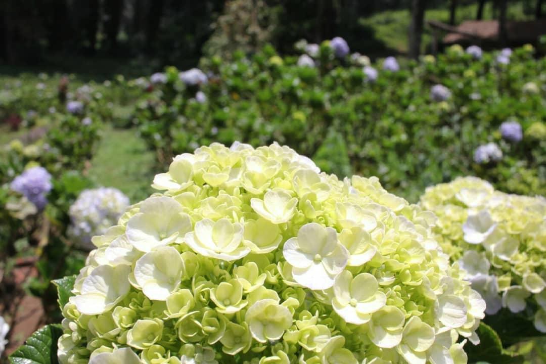 Bunga-bunga pancar di Hamparan Bunga Wana Wisata Baturraden. (Foto: Dok GenPI.co)