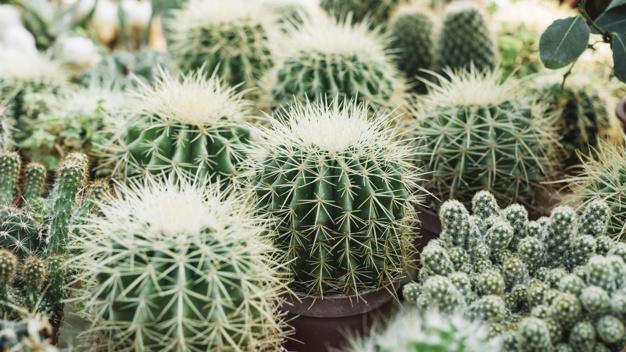 Ilustrasi tanaman kaktus. (Foto: Freepik)