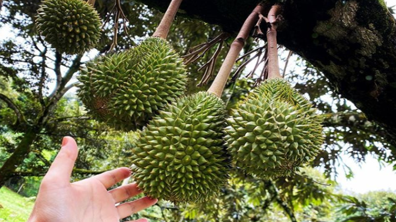 Pohon durian (foto: SC IG @sweet_love_orchard)
