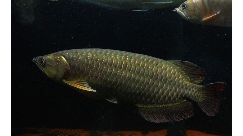 Memesona! Deretan Fakta Ikan Arwana Irian yang Dilindungi KKP