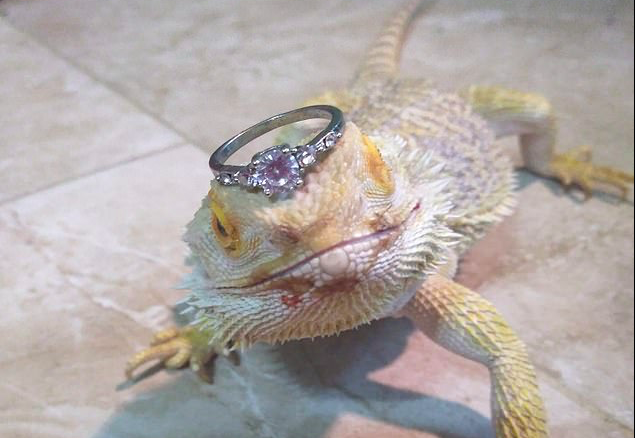Kadal bernaa Cleo menjadi model cincin fermata (Sumber Facebook/That's It, I'm Ring Shaming)