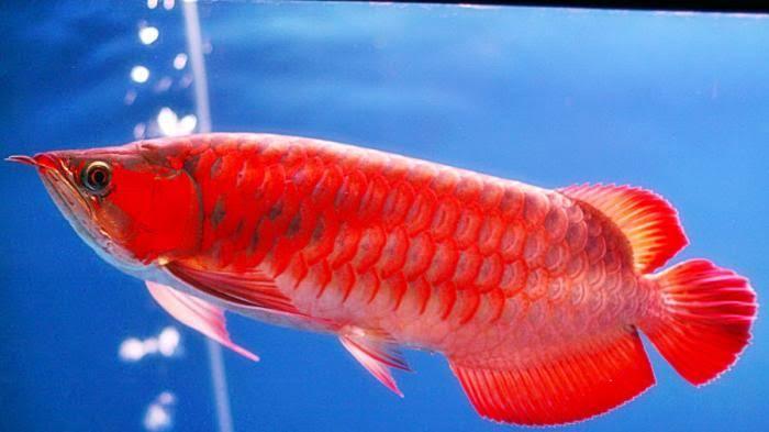 Ikan Arwana. Foto: zona ikan