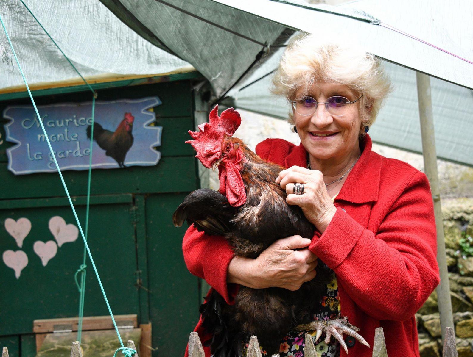 Aneh, Ada Ayam Jago Diadili Sebab Berkokok Kencang dan Kepagian!