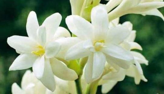 Jangan Diremehkan, Khasiat Bunga Sedap Malam Ternyata Menakjubkan (Foto: Pinterest)