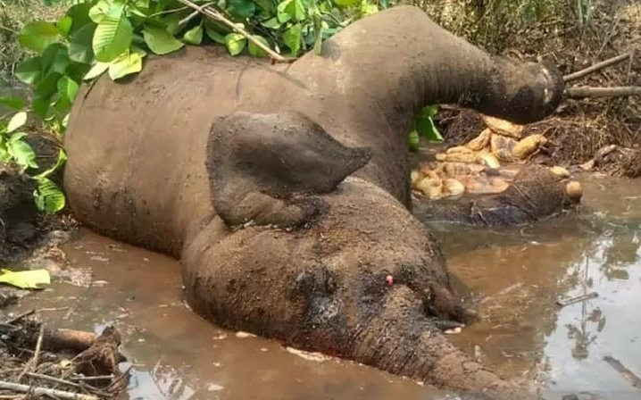 Bangkai Gajah Sumatera liar bernama Dita saat ditemukan mati di Balai Raja Kecamatan Pinggir, Kabupaten Bengkalis, Riau, Senin (7/10). (ANTARA/HO-RSF)