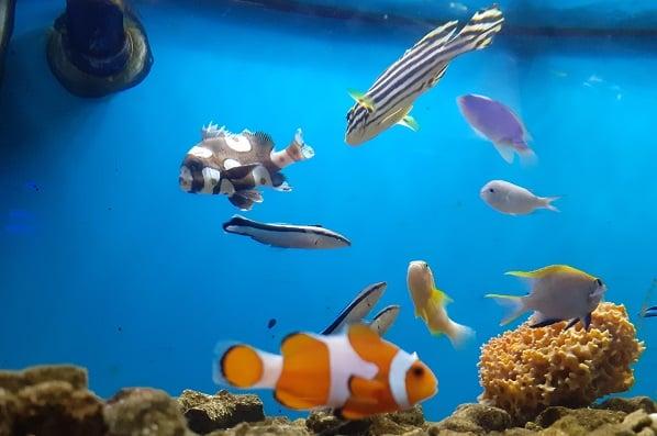 Bisnis Ikan Hias Air Laut Tambah Ramai Di Tengah Pandemi