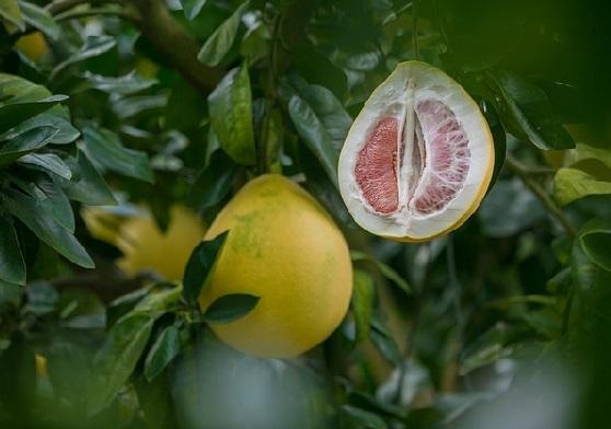 Buah jeruk bali (Foto: Pixabay)