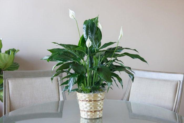 Tanaman peace lily. Foto: Phil-Amy Florist