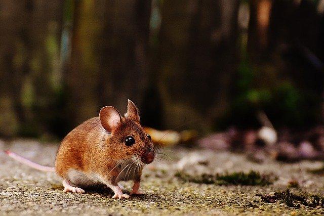Ilustrasi. Hama tikus di rumah. Foto: pixabay/Hier und jetzt endet leider meine Reise auf.