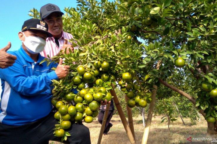 Bupati Situbondo Karna Suswandi menunjukkan buah jeruk saat panen raya di perkebunan jeruk Desa Juglangan, Kecamatan Panji, Situbondo. Kamis (10/6/2021) (ANTARA/Novi H)