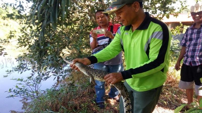 Pada Juni 2018, warga di Kecamatan Tanjungmutiara menemukan anak buaya, dan Petugas BKSDA Resor Agam melepas anak buaya itu ke sungai tidak jauh dari lokasi ditemukan di Pasar Tiku, Nagari Tiku Selatan (foto: Antara)