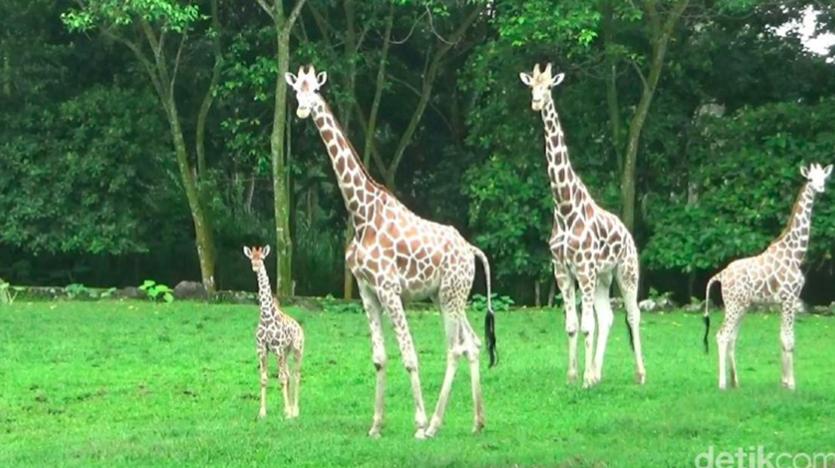 Bayi jerapah di Taman Safari Prigen (Sumber: detikcom)