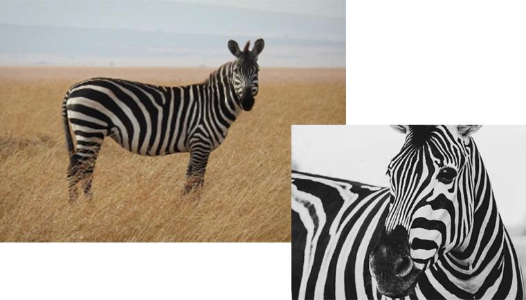 Zebra memiliki warna kulit yang unik, yakni belang - belang hitam putih.