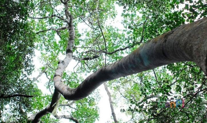 Pohon dibutuhkan demi keberlangsungan hidup manusia lantaran memproduksi oksigen untuk bernafas. (Foto: phantomforest.com)